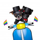 stock photo of gay wedding  - couple of just married gay jack russell dogs of same sex and gender driving a motorbike just after the wedding isolated on white background - JPG