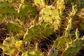 stock photo of prickly-pear  - Green Prickly Pear Cactus Leaf in the Desert - JPG