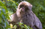 foto of gibraltar  - Barbary macaque in Gibraltar the only place in Europe to live in freedom - JPG