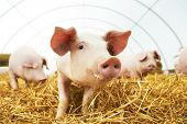 stock photo of pig-breeding  - herd of young piglet on hay and straw at pig breeding farm - JPG