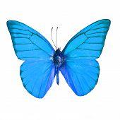 stock photo of blue butterfly  - Blue butterfly Orange Albatross Butterfly  - JPG