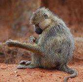 Macaco aliciamento