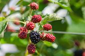 stock photo of blackberries  - Blackberry plant with berries and green leaves in the garden and on the field - JPG