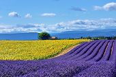 foto of plateau  - Stunning rural landscape with lavender field sunflower field and old farmhouse on background - JPG
