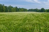 stock photo of buckwheat  - Field with blossoming buckwheat in central Ukraine - JPG
