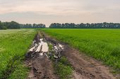 pic of buckwheat  - Morning landscape with road between flowering buckwheat and wheat field in Ukraine - JPG