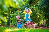 stock photo of cherry trees  - Kids picking cherry on a fruit farm - JPG