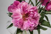 foto of single flower  - Single pink peony flower over white background - JPG