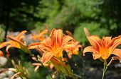 stock photo of lillies  - Orange lilly plants along the creek - JPG