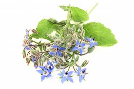 stock photo of borage  - Borage leaves and flowers on a bright background - JPG