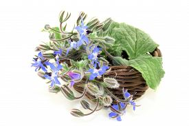 foto of borage  - Borage leaves and flowers on a bright background - JPG