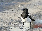 Impudent And Mean Magpie.