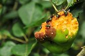 Flies at the rotten apple
