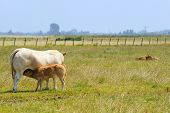 White meat cow with drinking calf