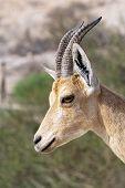 stock photo of nubian  - Nubian ibex in Ein Gedi at the Dead Sea - JPG