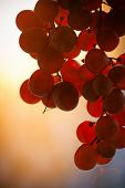 Grape fruit bunch at sunset lit with warm sunlight