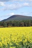 A beautiful field of oilseed rape in