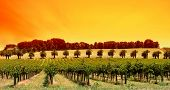Sun Setting over vines in South Australia