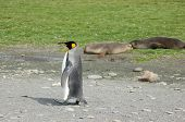 1 King Penguin Walking By 2 Seals Lying In Background