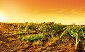 A vineyard in South Australia