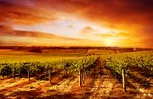 pic of shiraz  - Amazing Vineyard Sunset in South Australia - JPG