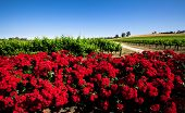 Colorful Vineyard in the Barossa Valley, South Australia
