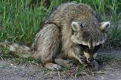 Raccoon Eating A Fish Dinner