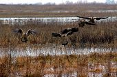 picture of duck-hunting  - Five Flying Canadian Geese Landing in Winter Pond Consumnes Wildlife Refuge Central California