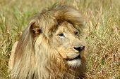 León africano Predator