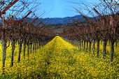 Mustard plants and grapevines at a vineyard