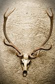 image of buck teeth  - Deer - JPG