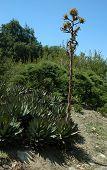 Dry Yucca Flower