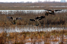 stock photo of honkers  - Five Flying Canadian Geese Landing in Winter Pond Consumnes Wildlife Refuge Central California  - JPG