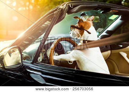 Jack Russell Dog In A