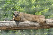 The Rock Hyrax Procavia Capensis, Also Called Rock Badger, Rock Rabbit, And Cape Hyrax Lies On A Log poster