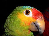 stock photo of polly  - colourful parrot profile view - JPG