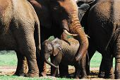 Close Up Of A Herd Of Elephants With A Mother Protecting, Or Showing Affection To Her Calf By Wrappi poster