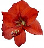 picture of belladonna  - Amaryllis belladonna Room house petal single flower nature color isolated in beauty day springs love bud red leaf bright blossom close - JPG