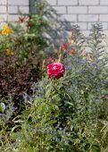 Watering Flowers In Garden. Woman Gardener Watering Plants In Summer Garden. Close Up Of Beautiful R poster