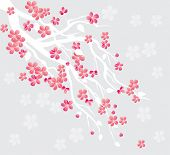 picture of cherry-blossom  - cherry blossom - JPG