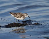 image of mauri  - Western Sandpiper crouched on seaweed and surrounded by water - JPG