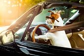 Jack Russell Dog In A Car Close To The Steering Wheel, Ready To Drive Fast And Save , With Seat Belt poster