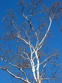 Birch Tree And Blue Sky poster