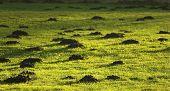 Molehill On Grass