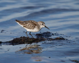 picture of mauri  - Western Sandpiper crouched on seaweed and surrounded by water - JPG