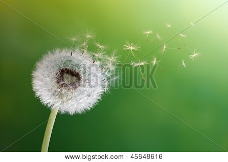 Dandelion seeds in the morning sunlight blowing away across a fresh green background poster