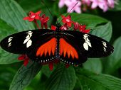 stock photo of dory  - Doris Longwing Butterfly  - JPG