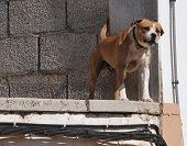 stock photo of growl  - barking growling pit bull over an unfinished construction - JPG