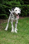 Smiling Dalmatian Puppy In The Garden