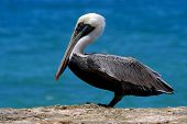F Little White Black Pelican Whit Black Eye